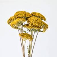 Dried flowers: achillea stems