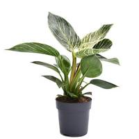 Best Low-Light Plants: Philodendron