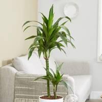 Best Low-Light Plants: Dracaena Fragrans