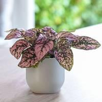 Best Low-Light Plants: Pink Polka Dot Plant