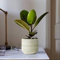 Best Low-Light Plants: Ficus Robusta