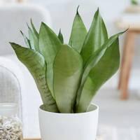 Best Low-Light Plants: Sansevieria Trifasciata