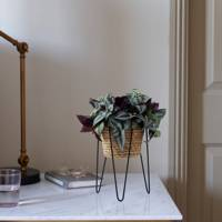 Best Low-Light Plants: Tradescantia