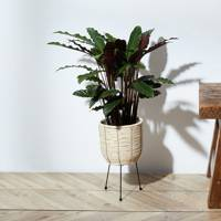 Best Low-Light Plants: Calathea