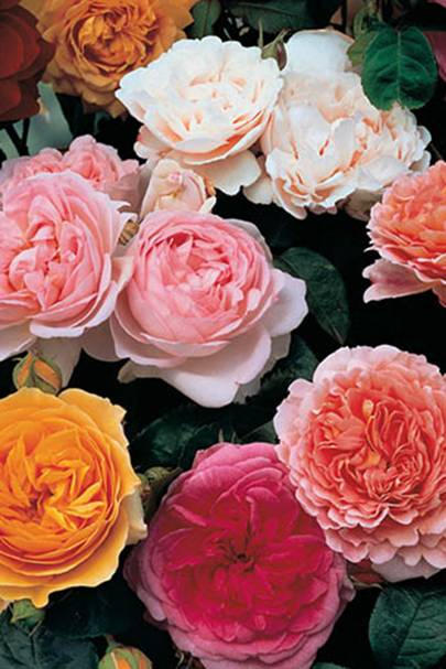 The ready-to-plant roses