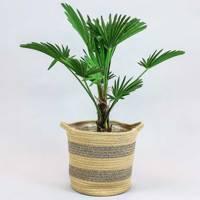 Best indoor plants: trachycarpus wagnerianus