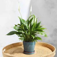 Best Low-Light Plants: The Peace Lily
