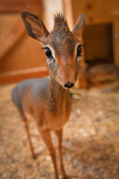 This baby antelope is the cutest thing you'll see today