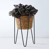 Best indoor plants: the Tradescantia