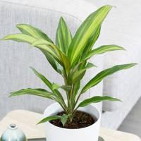 Best Low-Light Plants: Cordyline Fruticosa