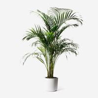Best indoor plants: Areca Palm