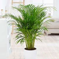 Best Low-Light Plants: Bamboo Palm
