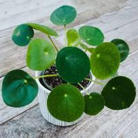 Best indoor plants: Chinese money plant