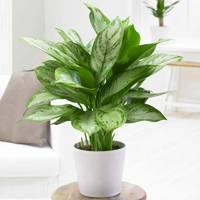 Best indoor plants: Chinese evergreen
