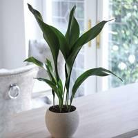 Best Low-Light Plants: Aspidistra Elatior