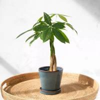 Best Low-Light Plants: The Pachira Money Tree