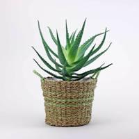 Best indoor plants: Aloe Arborescens