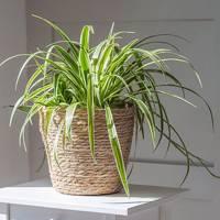 Best Low-Light Plants: Spider Plant