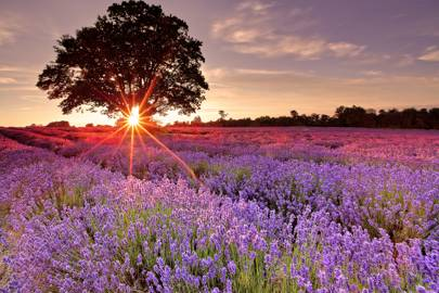 Frolic in Yorkshire's lavender fields