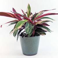 Best indoor plants: Stromanthe Sanguinea